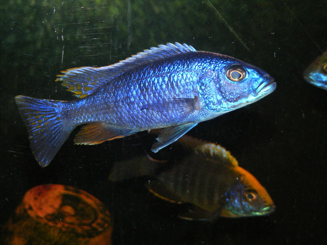 Wild Caught Sciaenochromis Fryeri (AKA Electric Blue)