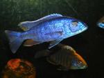 Wild Caught Sciaenochromis Fryeri (AKA Electric Blue)