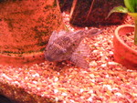 One of our Plecostomus this guy is about 10