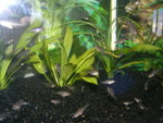 One of our Fry Tanks